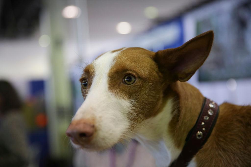 ibizan-hound