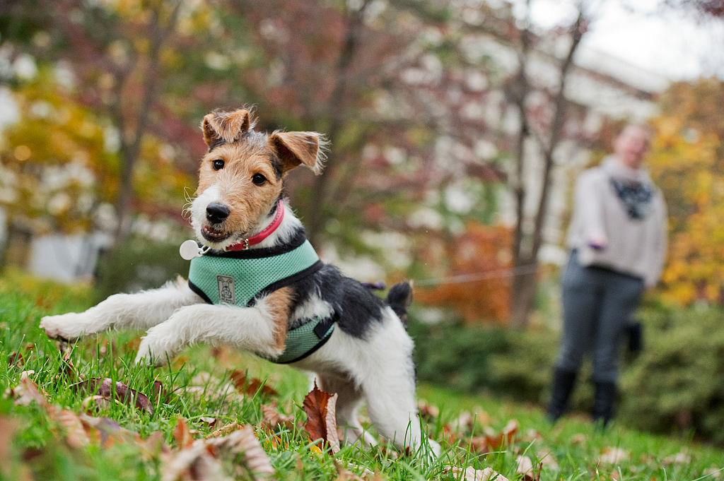 wire-fox-terrier