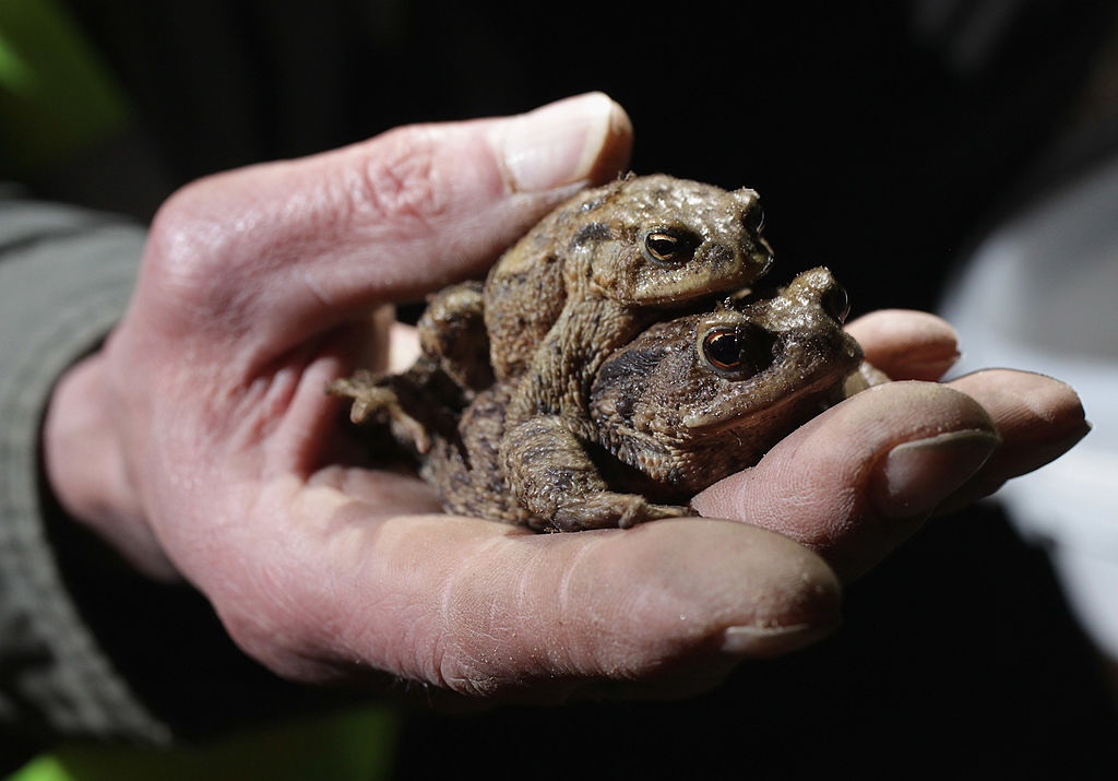 You Won't Get Warts By Touching Toads -141591664