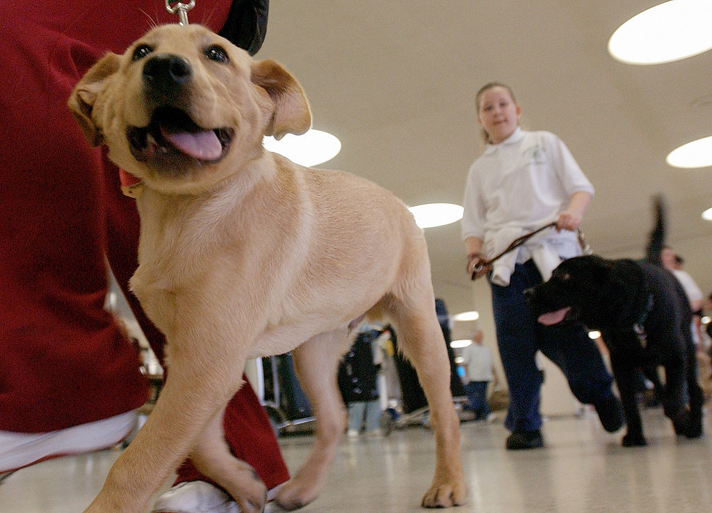 Student guide dog Max, a Golden Retreiver puppy