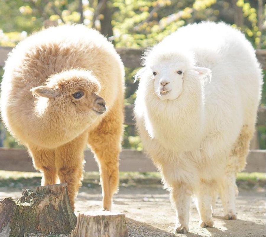 chunky alpacas