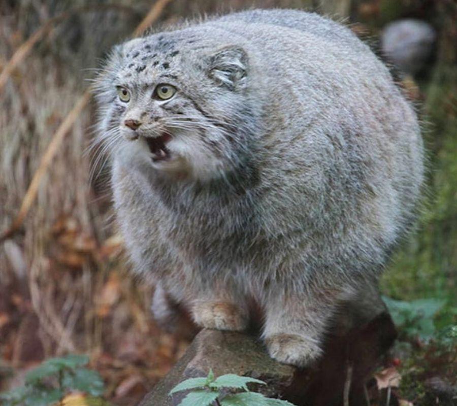 wild cuddly cat