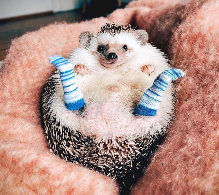 hedgehog with socks on