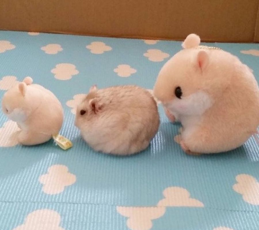circle hamster with toys