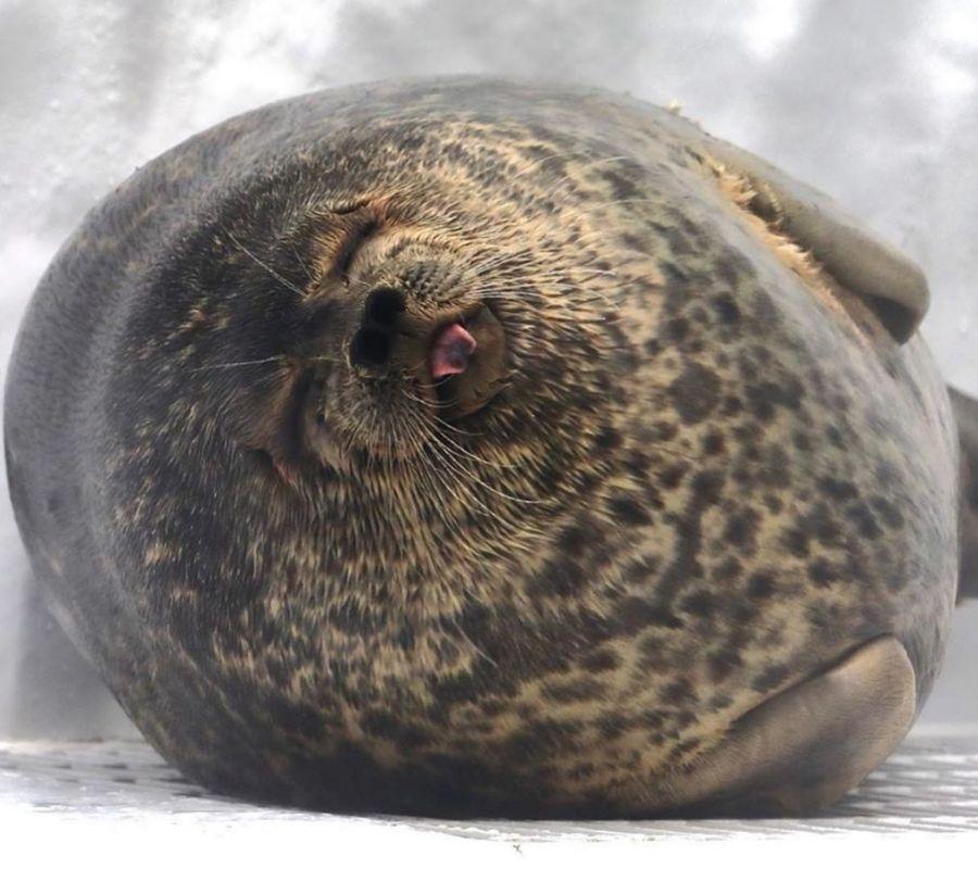 sleepy seal big belly
