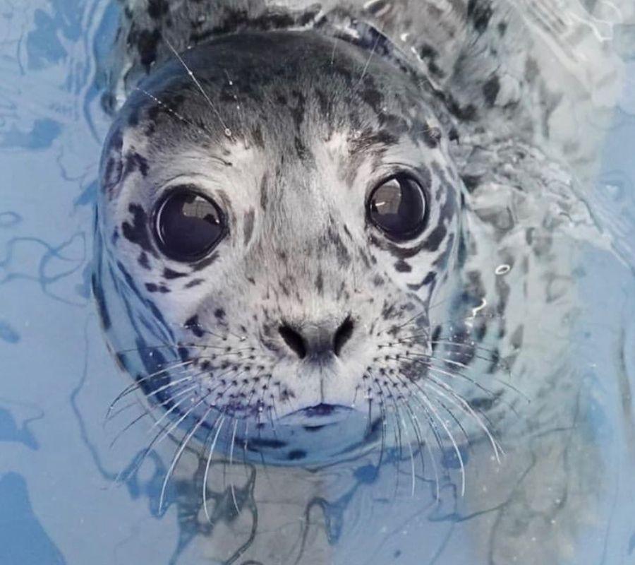 seal in the water big eyes