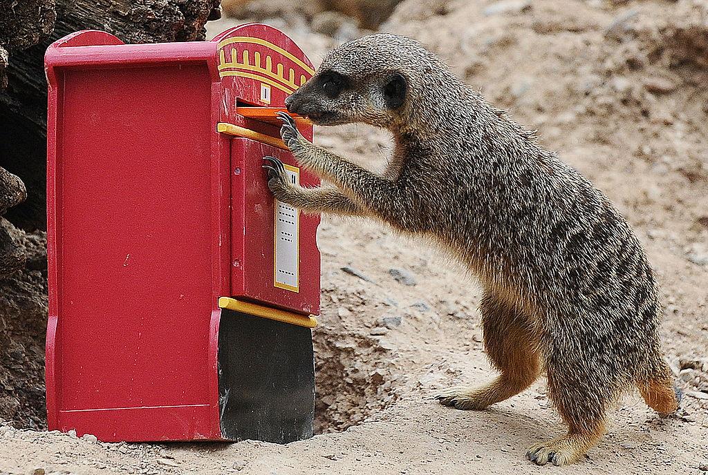 a curious meerkat beside a plastic mailbox mailbox
