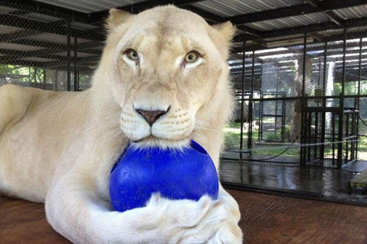 shiela the lioness