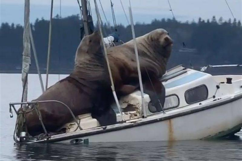 Sea Lions Taking Over The Ship