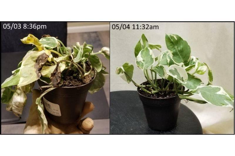 a plant before and after being watered